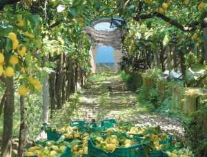 лимонв_на_амальфитанском_побережье