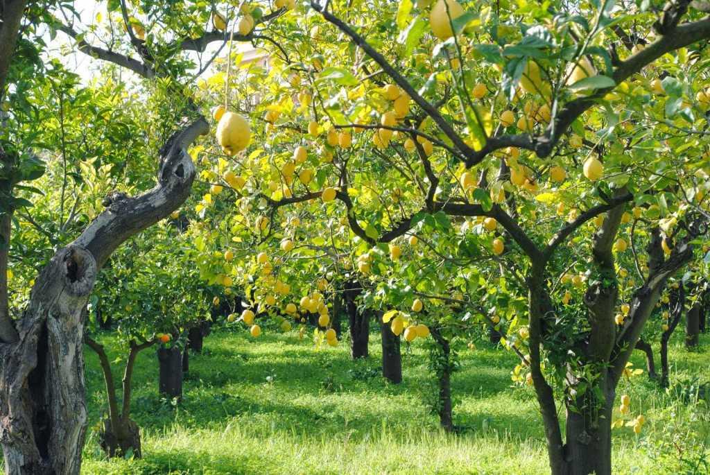 деревья_лимончелло