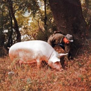 находят труфель с помощью свиньи